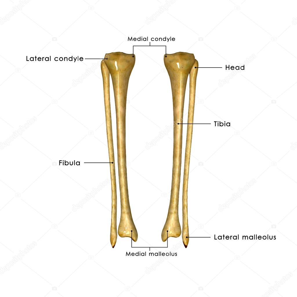 Tibia und fibula — Stockfoto © sciencepics #63100777
