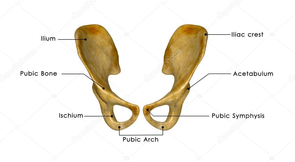 hueso de la cadera — Fotos de Stock © sciencepics #63100971