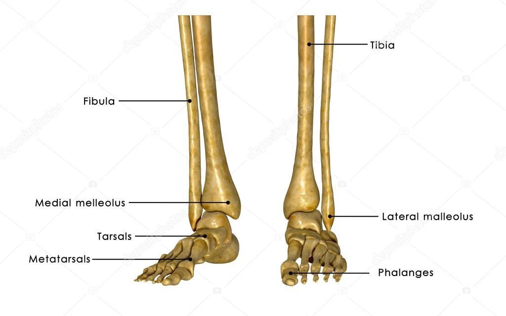 Skeleton Legs Stock Photo Sciencepics 63101025