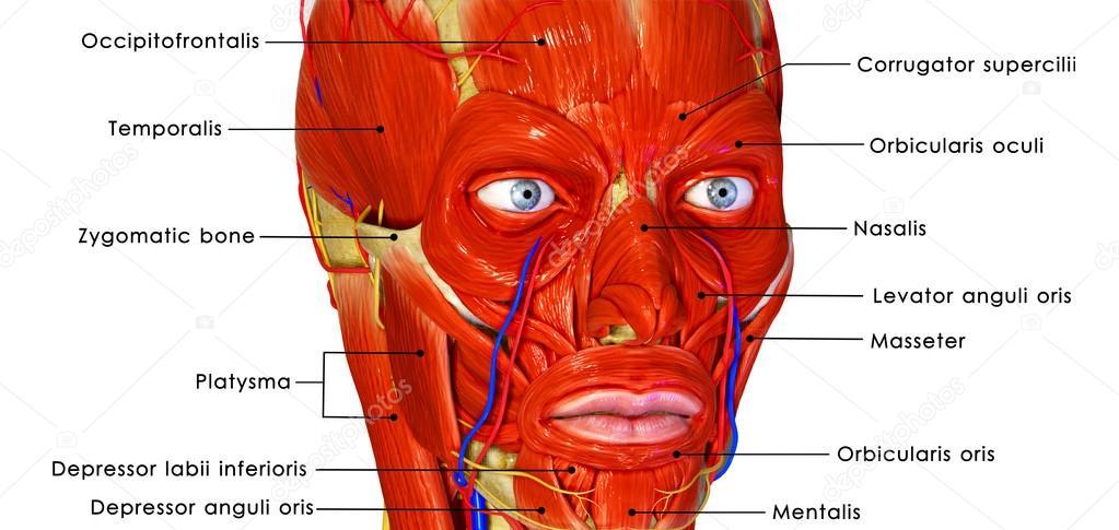 Facial Muscles Stock Photo Sciencepics 63101059