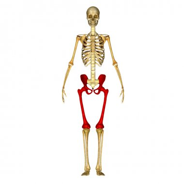 Hip with femur