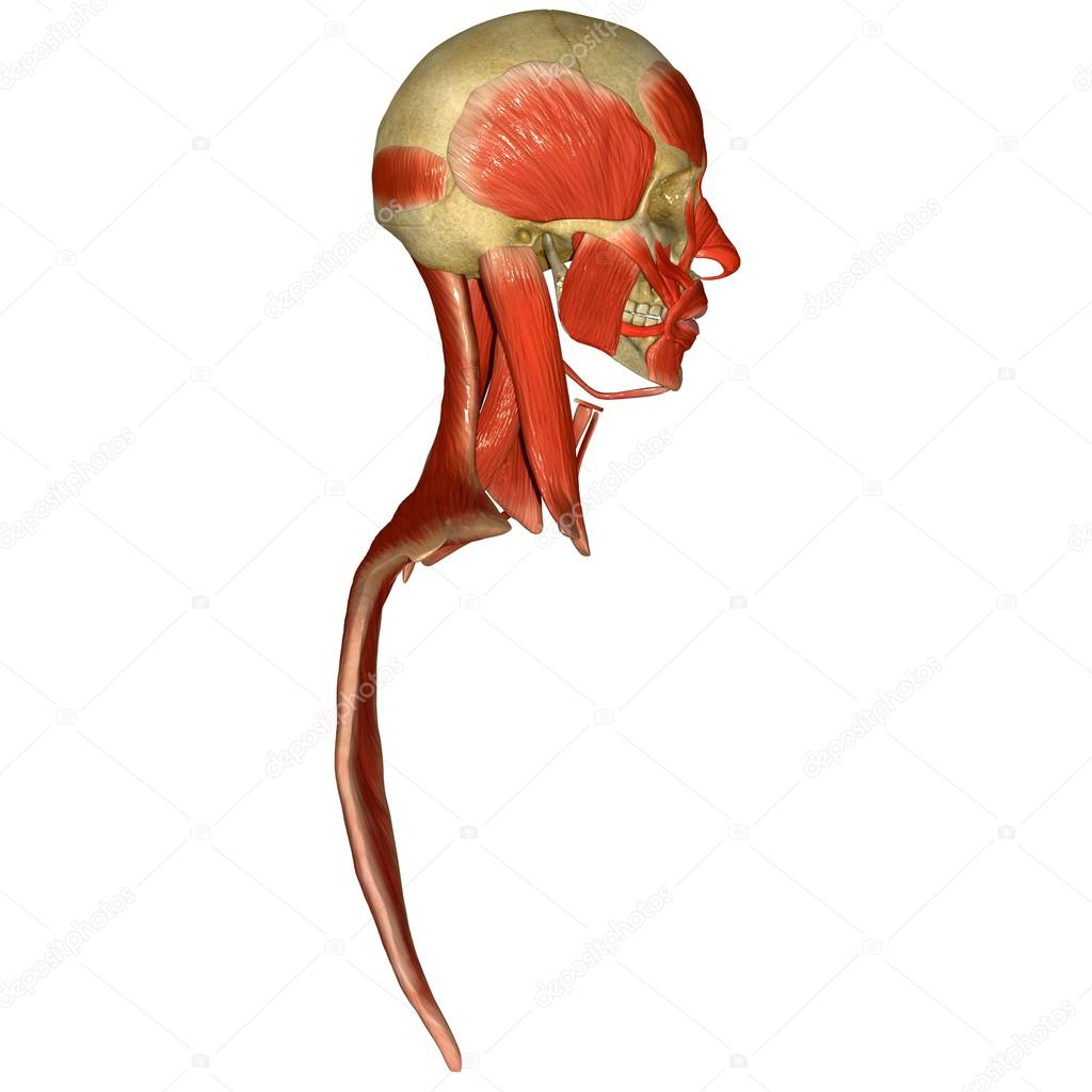 Facial Muscles Stock Photo Sciencepics 66251311