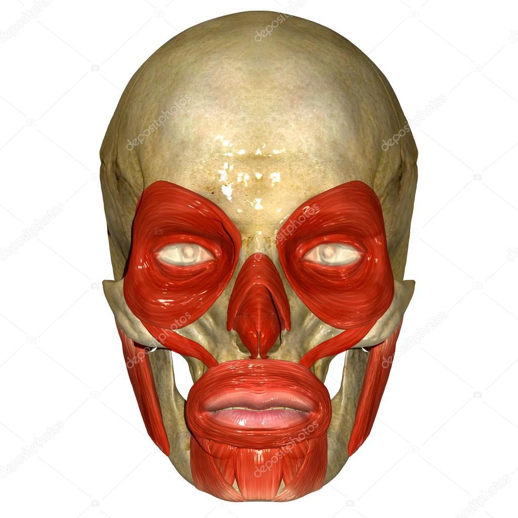 Facial Muscles Stock Photo Sciencepics 66251585