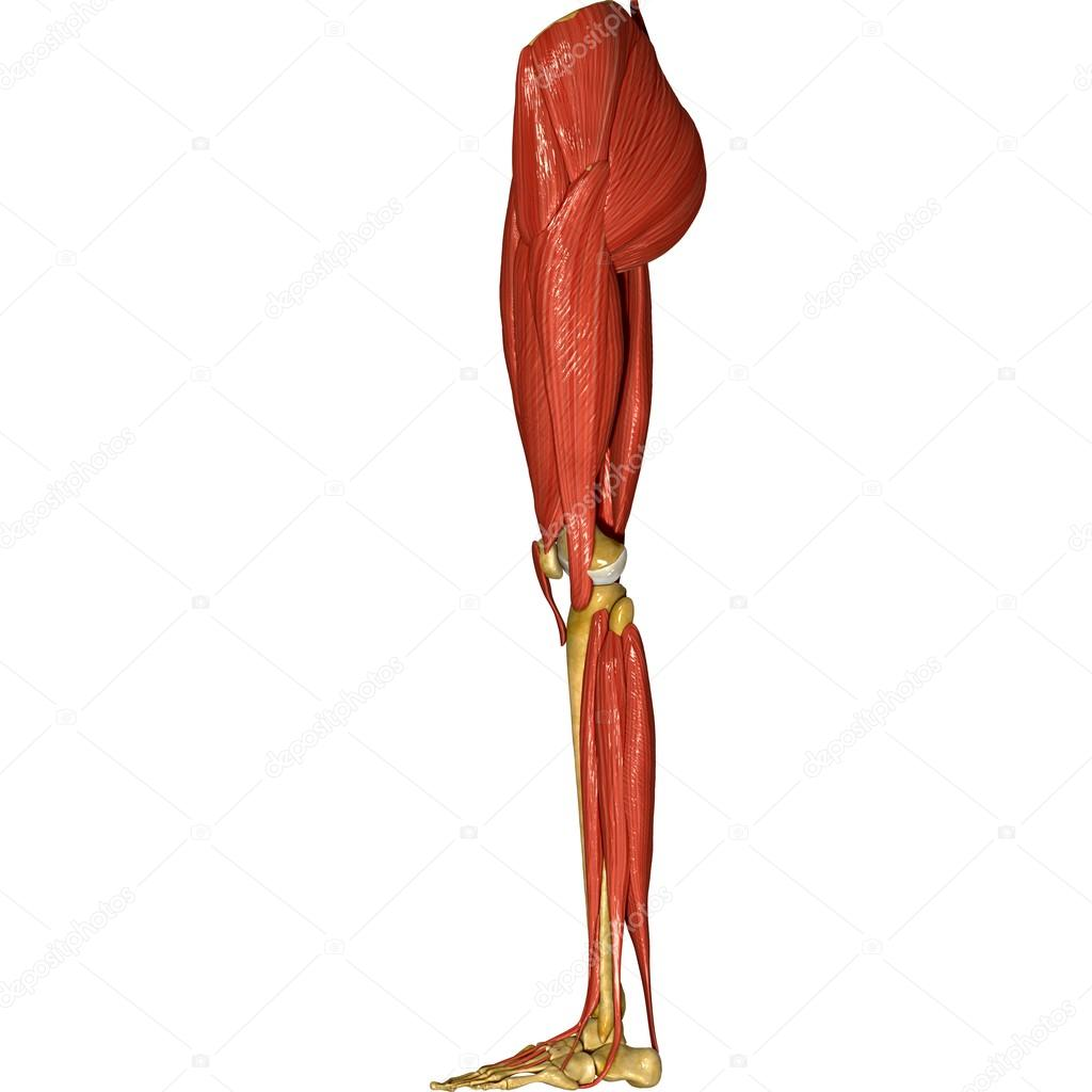 musculos del cuerpo humano de las piernas