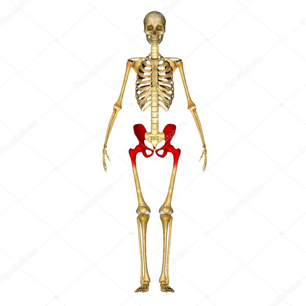 Skelett-Hüfte — Stockfoto © sciencepics #66251697