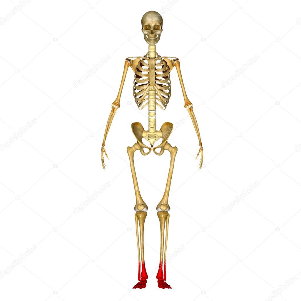 Pies de esqueleto — Foto de stock © sciencepics #66251727