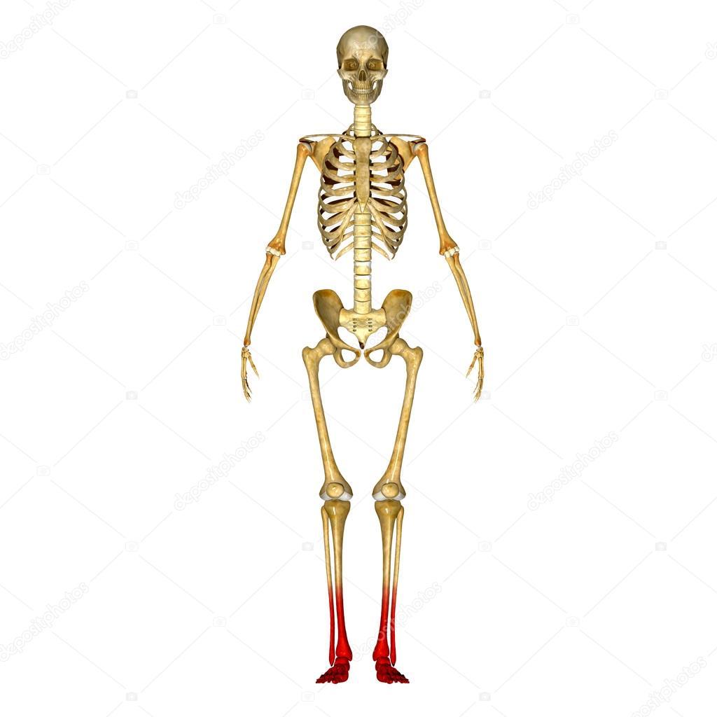 Skeleton Legs Stock Photo Sciencepics 66251773