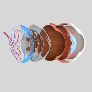 Human eye anatomy isolated on grey background stock vector