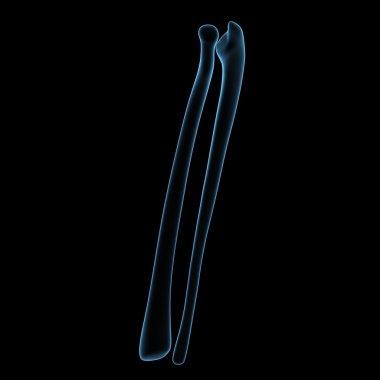 Fibula and tibia