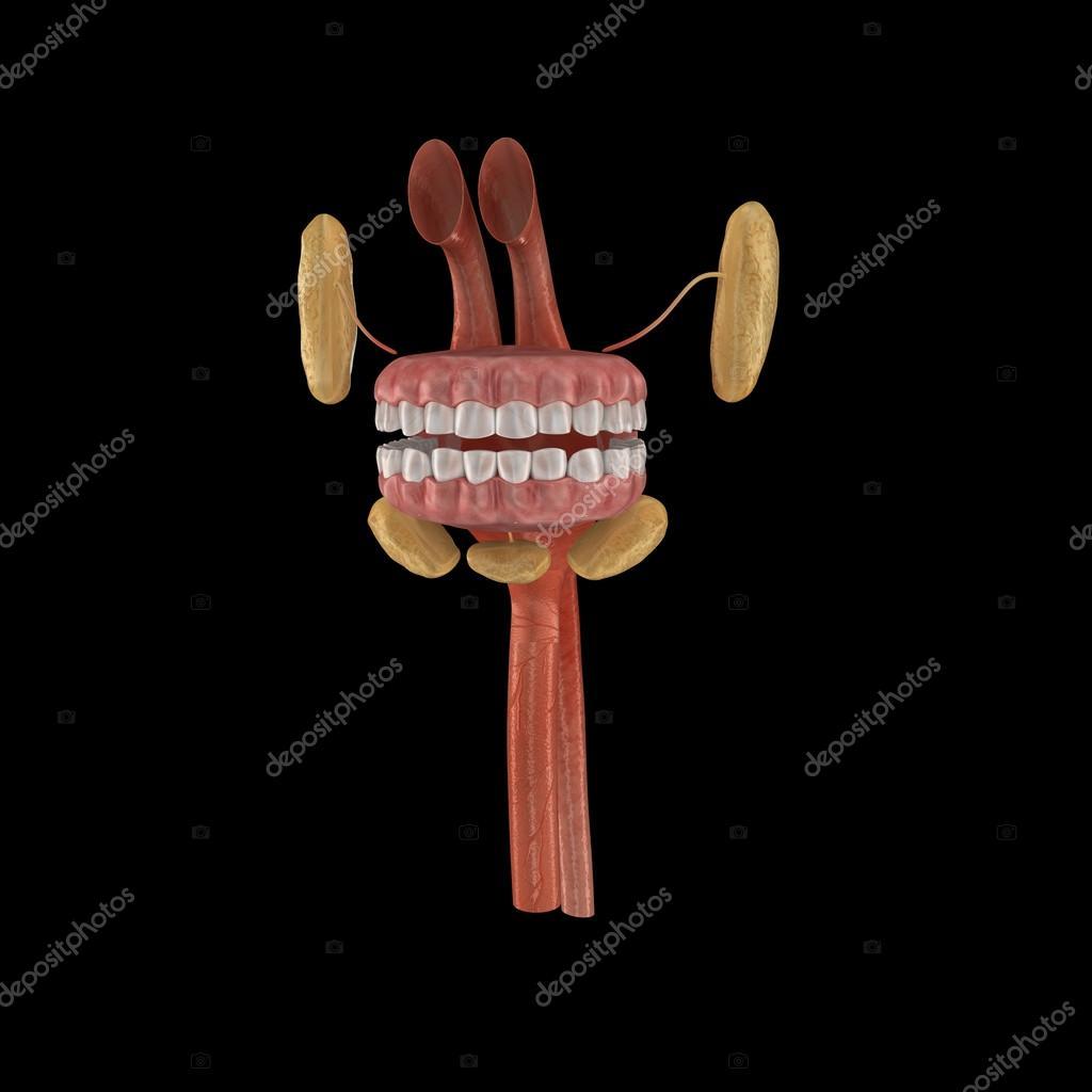 Anatomía de la boca humana — Fotos de Stock © sciencepics #66746845