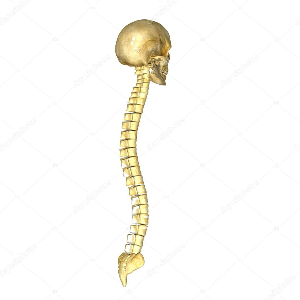 Cráneo humano con columna vertebral — Fotos de Stock © sciencepics ...