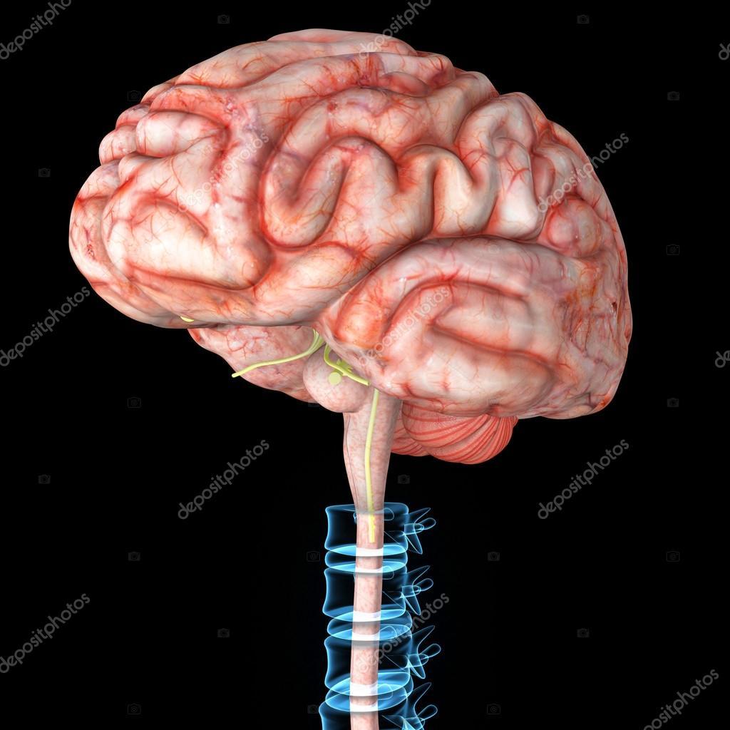 Cerebro con la espina dorsal — Fotos de Stock © sciencepics #66747753