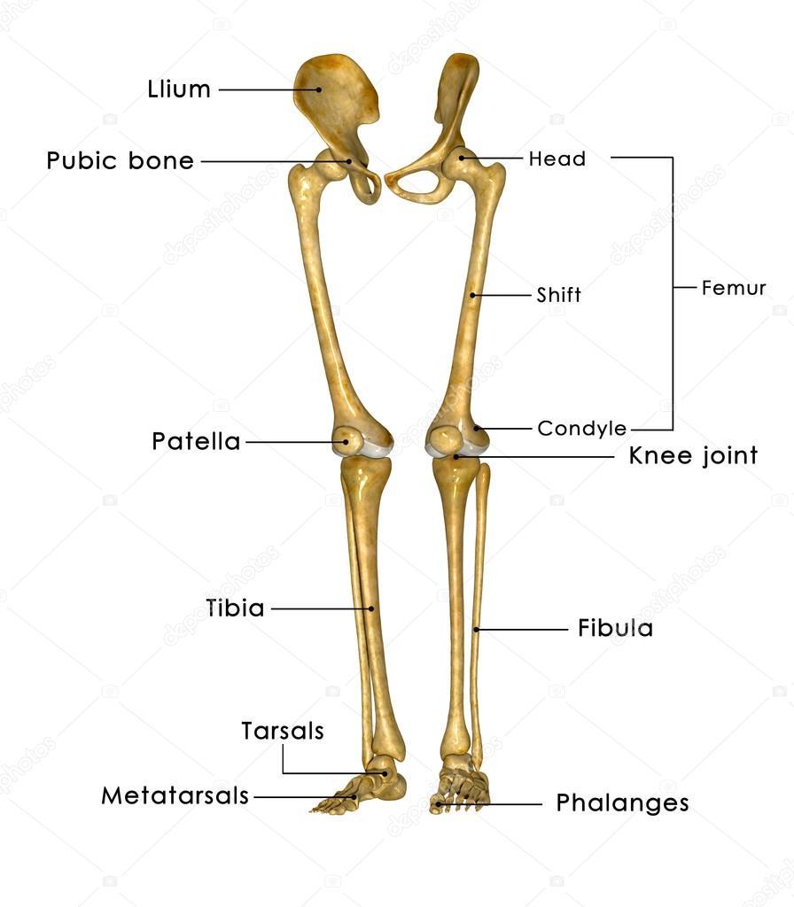 Skeleton legs with hip — Stock Photo © sciencepics #66747937