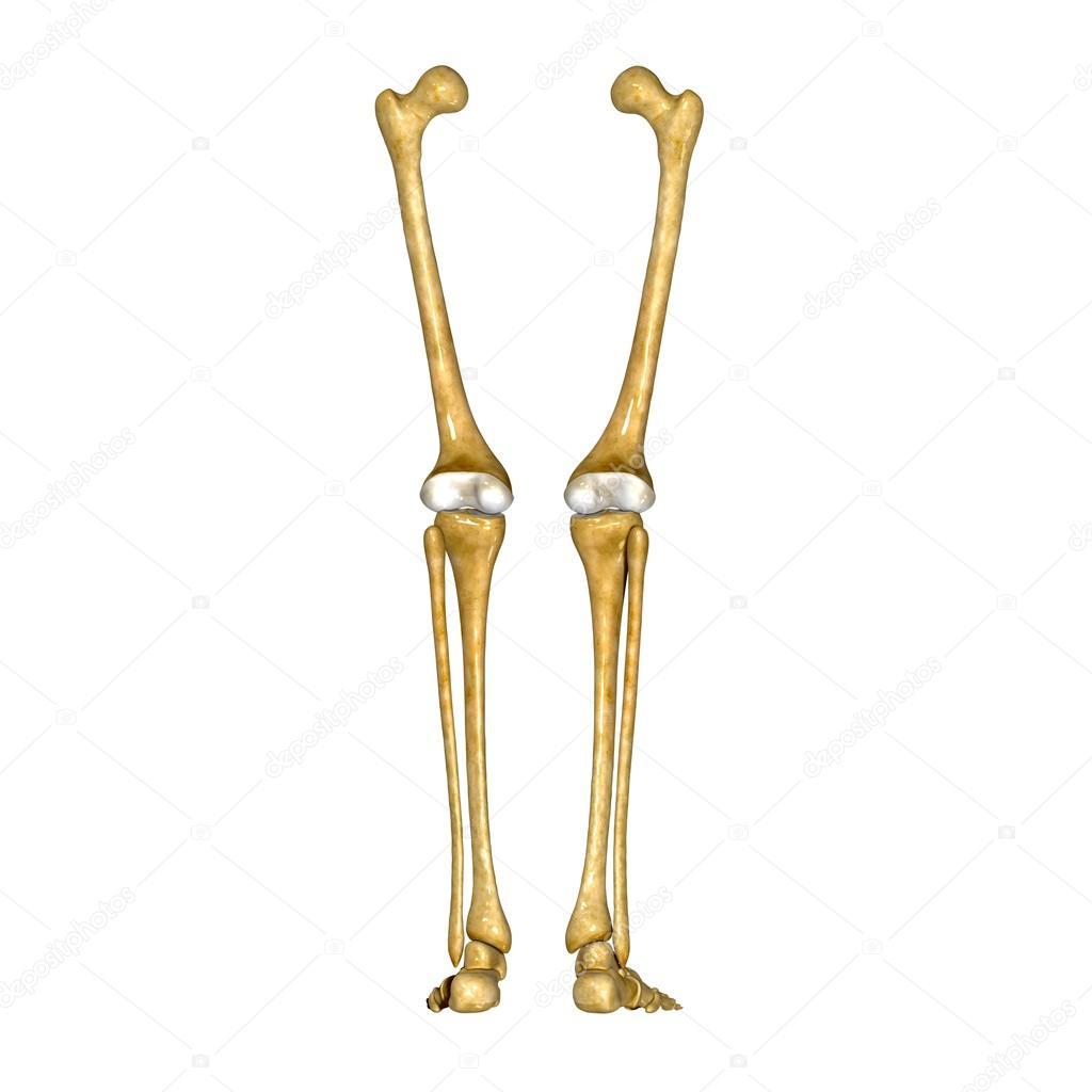 Skeleton Legs Stock Photo Sciencepics 66748087