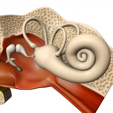 Human ear drum anatomy