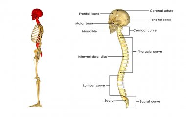 Skull with spinal cord