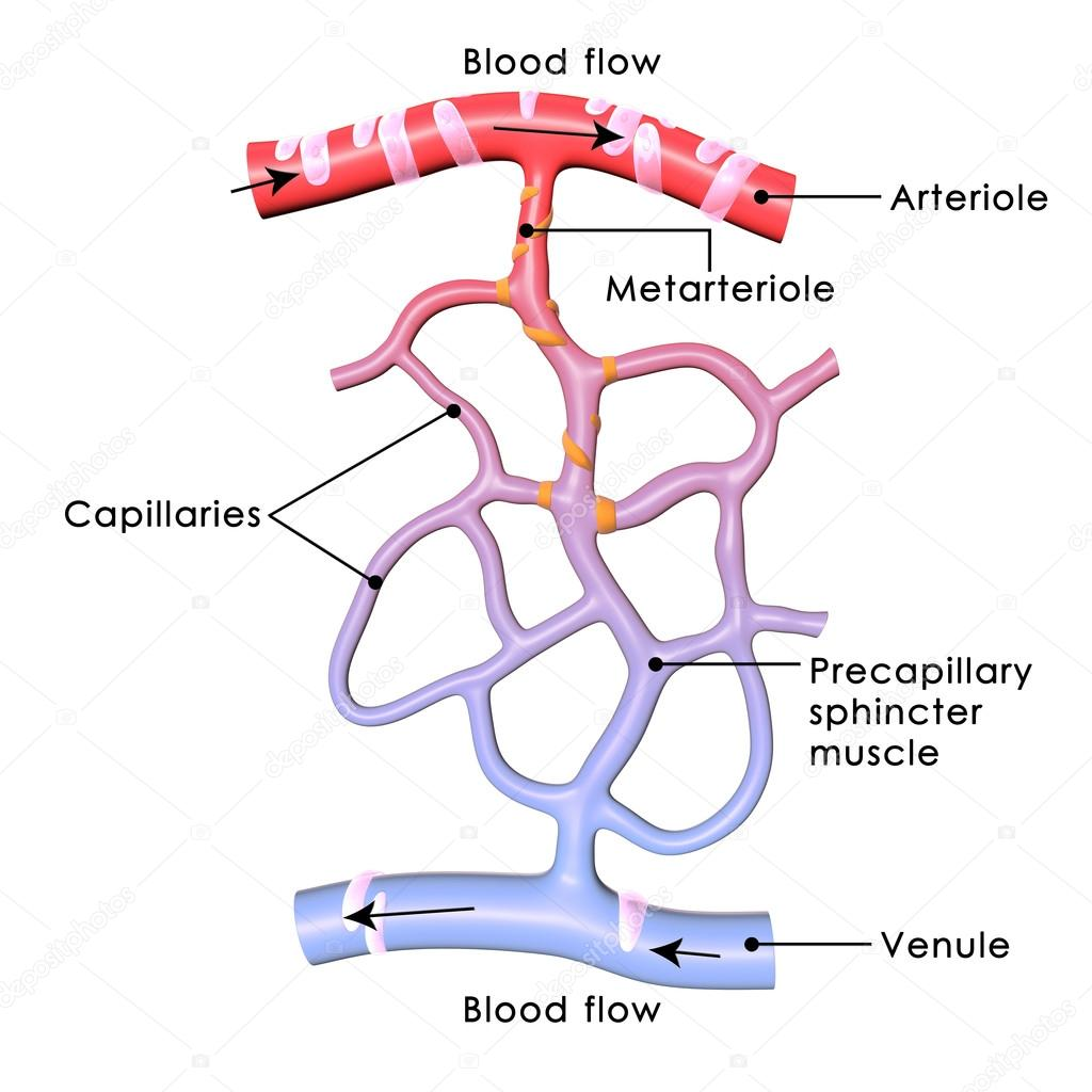Menschlichem Blut Kapillare — Stockfoto © sciencepics #67607873