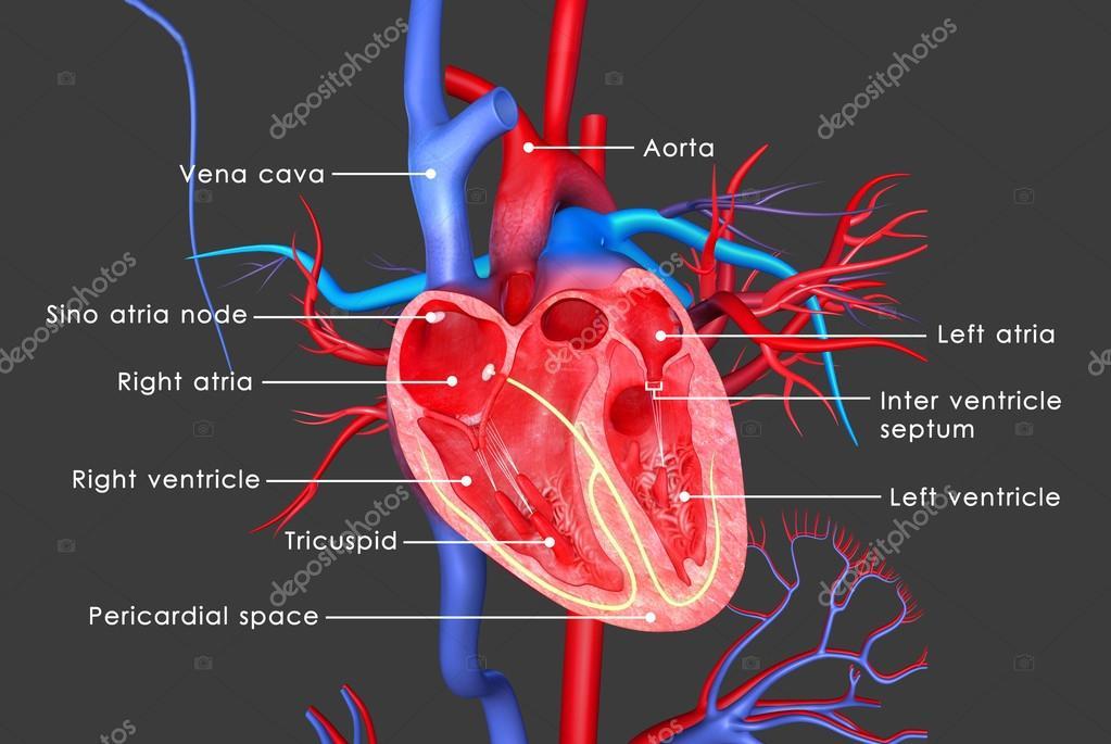Anatomía del corazón humano — Foto de stock © sciencepics #67608157
