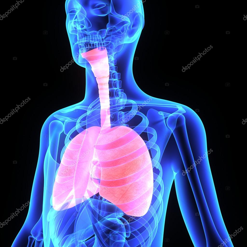 Human Lungs — Stock Photo © sciencepics #67678825