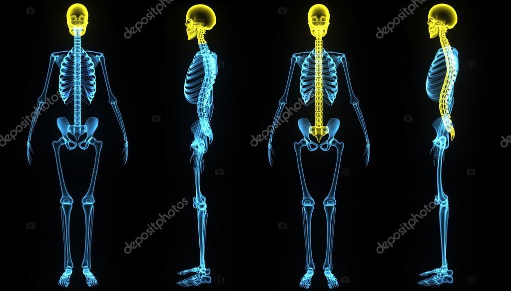 Cráneo humano con columna vertebral — Foto de stock © sciencepics ...