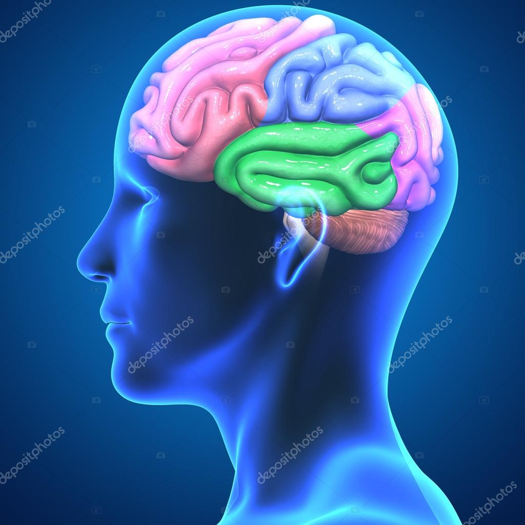 partes del cerebro humano — Fotos de Stock © sciencepics #67956599