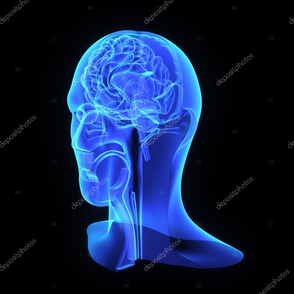 Blauer Kopf Anatomie — Stockfoto © sciencepics #67958937