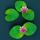 Nymphaea, lotus flowers and leaves
