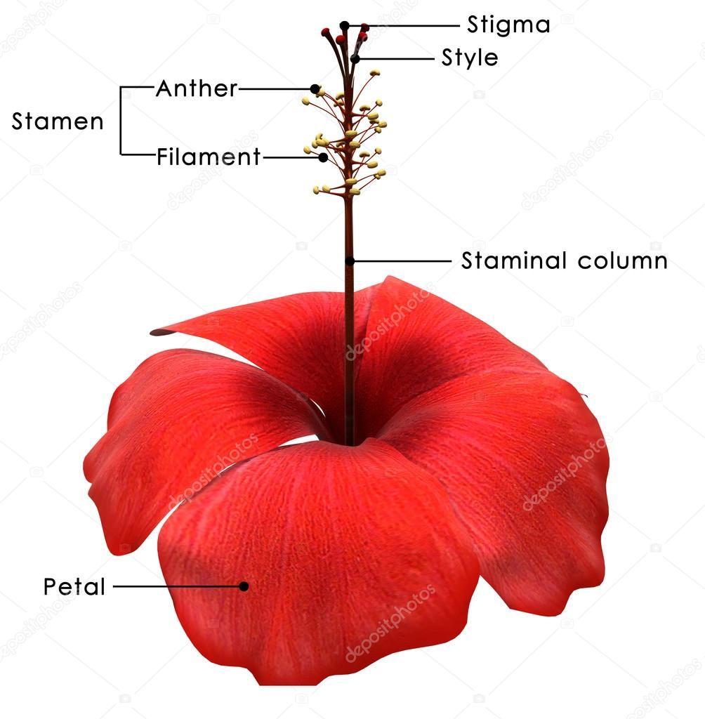 Hibiscus flower diagram stock photo sciencepics 72990937 hibiscus flower diagram stock photo izmirmasajfo