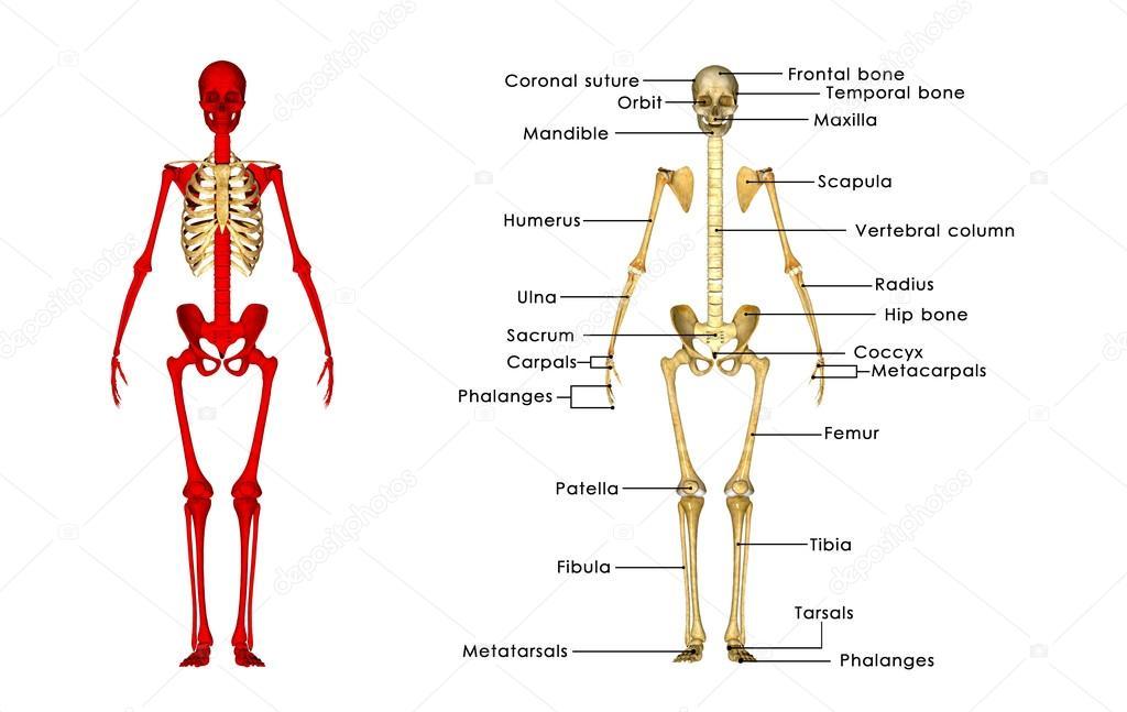 Menschliches Skelett Anatomie — Stockfoto © sciencepics #72991705