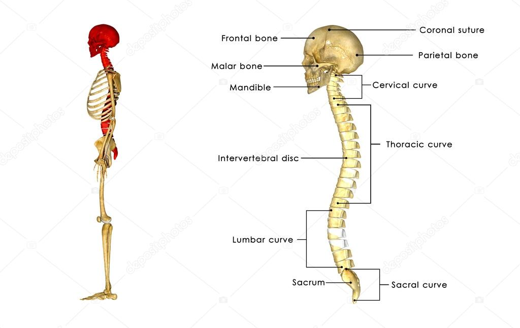posterior ósea con anatomía del cráneo — Fotos de Stock ...