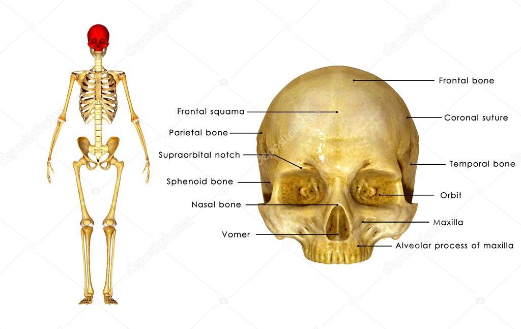Schädel oberen Teil der Anatomie — Stockfoto © sciencepics #72991901