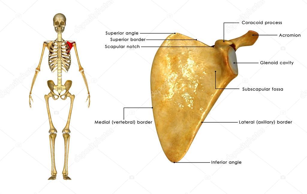 Anatomía de la escápula — Fotos de Stock © sciencepics #72992041