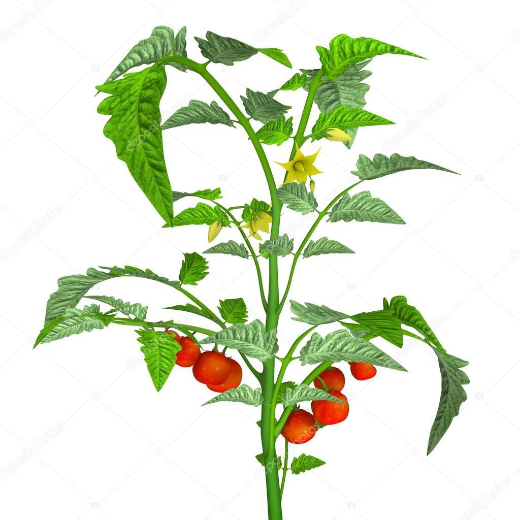 tomatenplant met tomaten stockfoto sciencepics 72992667. Black Bedroom Furniture Sets. Home Design Ideas