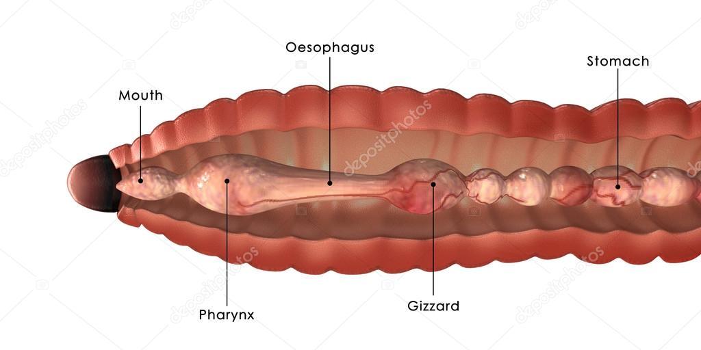 Esquema de la anatomía de lombriz — Foto de stock © sciencepics ...