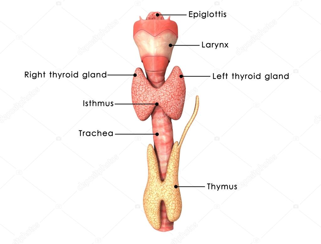 Thyroid glands anatomy — Stock Photo © sciencepics #72995205