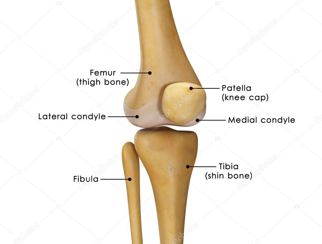 knee joint anatomy — Stock Photo © sciencepics #72995299