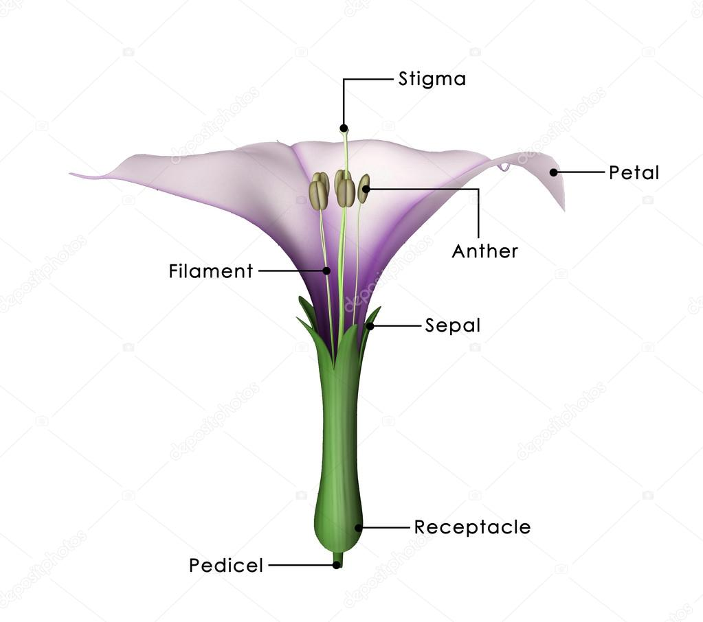Datura flower diagram stock photo sciencepics 72995377 datura flower diagram stock photo pooptronica Images