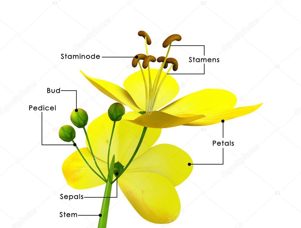 Cassia flowers diagram stock photo sciencepics 73308973 cassia flowers diagram stock photo pooptronica Images