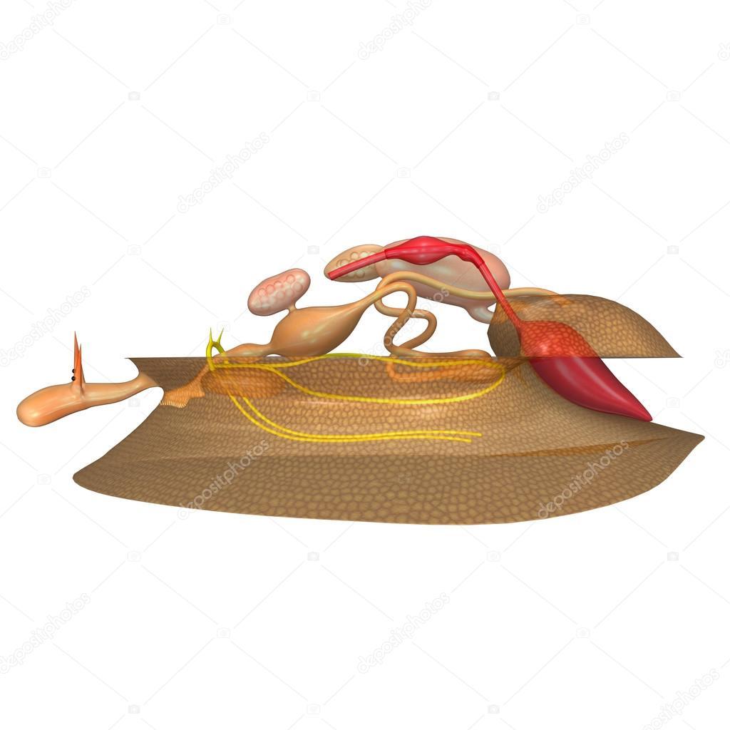 Anatomía de los moluscos de mar — Foto de stock © sciencepics #73309359