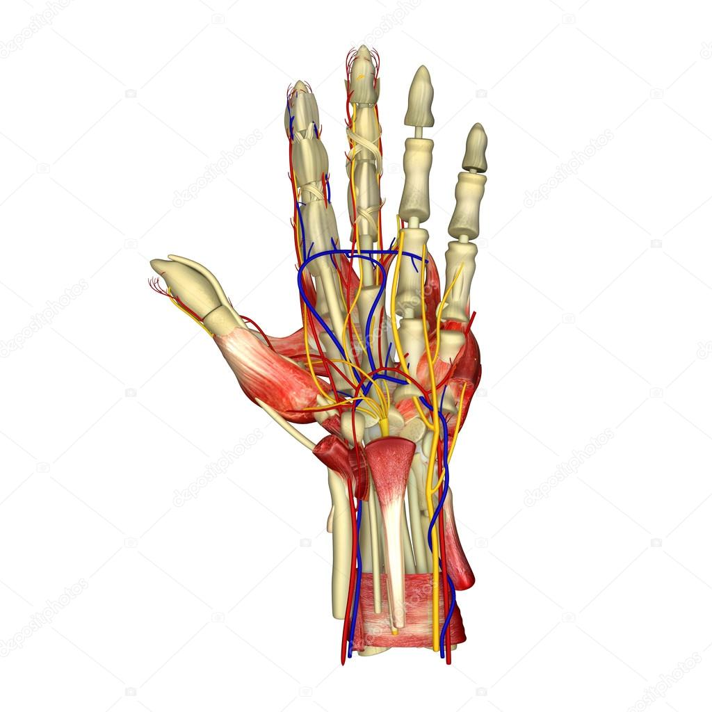 Anatomía de los músculos de Palma — Foto de stock © sciencepics ...