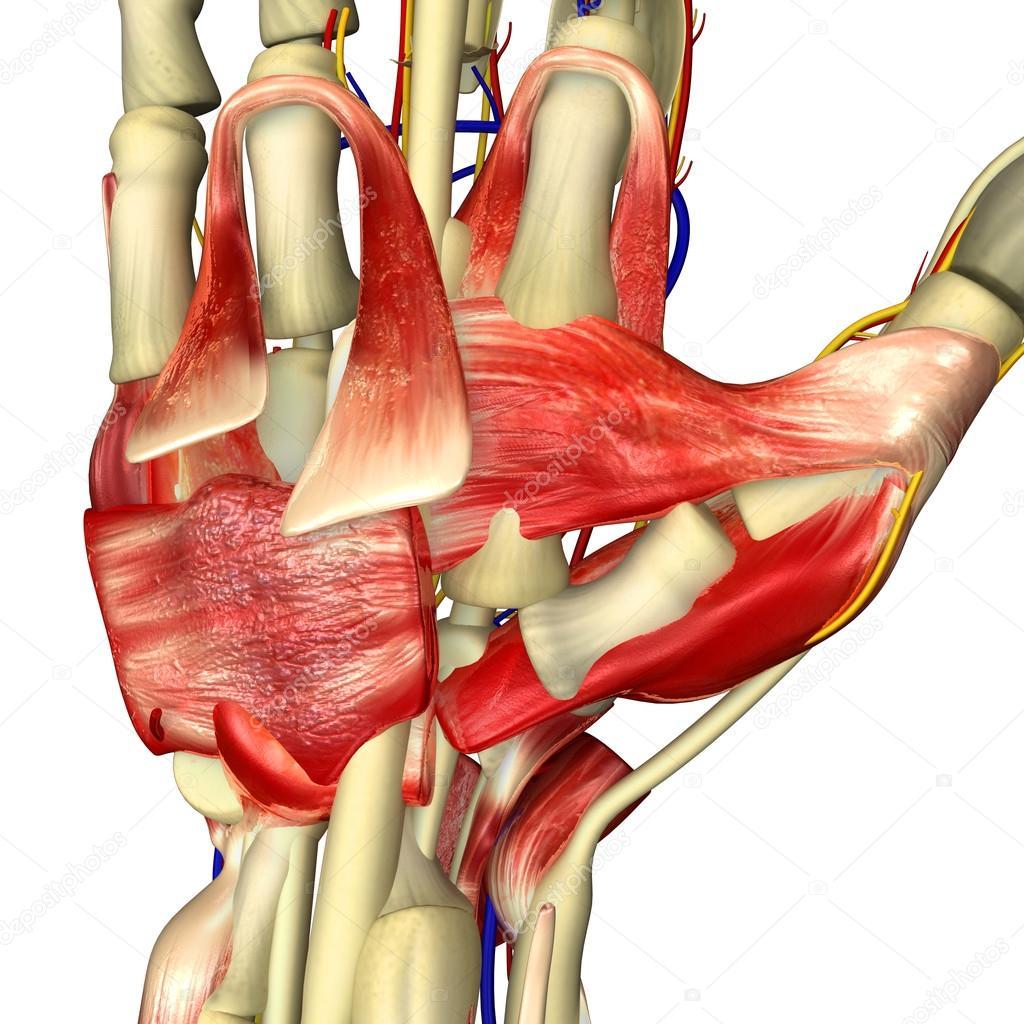 Anatomía de los músculos de Palma — Fotos de Stock © sciencepics ...