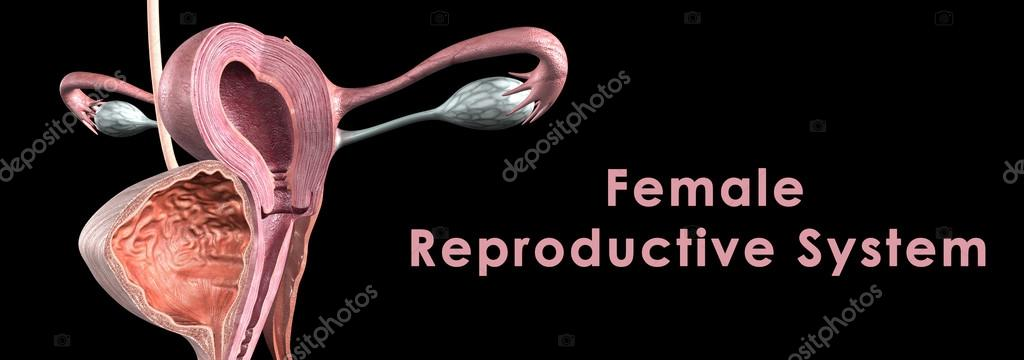 sistema reproductivo femenino — Fotos de Stock © sciencepics #73309627
