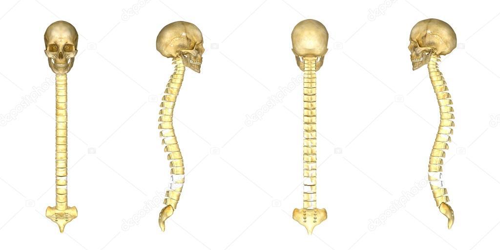 Skull With Backbone Anatomy Stock Photo Sciencepics 73310067