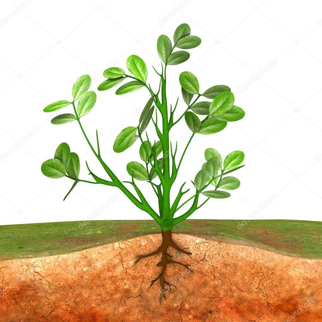 planta de maní con hojas y la raíz — Foto de stock © sciencepics ...