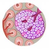 Pancreatic gland cells