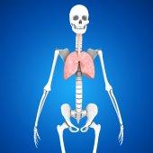 anatomie člověka plíce