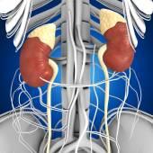 Fotografie anatomie lidské ledviny