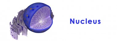 Nucleus, cell structure