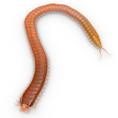 Nereis  polychaete worm
