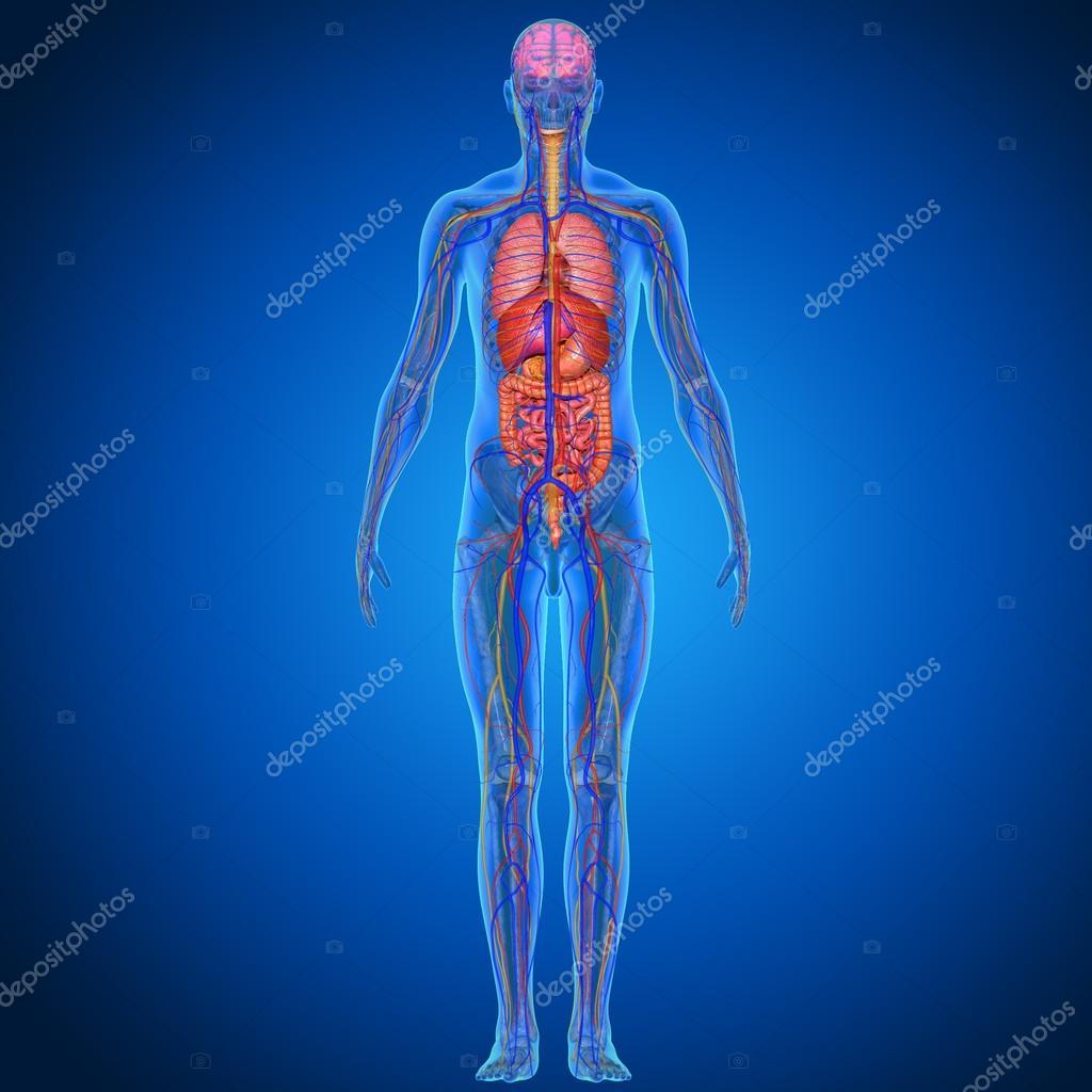Anatomía del cuerpo humano — Fotos de Stock © sciencepics #75126303